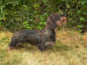 chiens-Teckel-poil-dur-9af55ef2-53c8-b1c4-1520-9536469e30f4