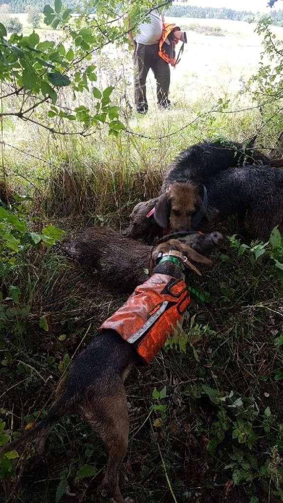 Jeune chien de chasse sur sanglier